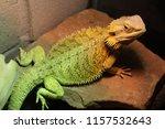 male yellow pet bearded dragon... | Shutterstock . vector #1157532643