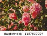 pink damask rose bush closeup... | Shutterstock . vector #1157537029