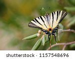The Scarce Swallowtail In...