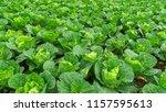 lettuce green prepare for... | Shutterstock . vector #1157595613
