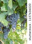 vitis  grapevines from provence | Shutterstock . vector #1157636020