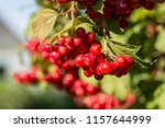 closeup of cranberry ripe on a... | Shutterstock . vector #1157644999