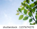 closeup view leaf green and... | Shutterstock . vector #1157674270