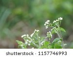 billygoat weed or ageratum... | Shutterstock . vector #1157746993