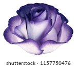 Stock photo violet flower on white isolated background with clipping path no shadows closeup nature 1157750476