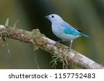 a perched blue gray tanager... | Shutterstock . vector #1157752483