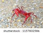 Red Land Crab  Phricotelphusa...