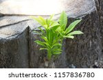 rebirth of the tree  a young...   Shutterstock . vector #1157836780