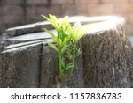 rebirth of the tree  a young...   Shutterstock . vector #1157836783