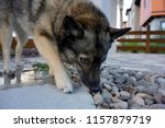 a curious pomsky is sniffing...   Shutterstock . vector #1157879719