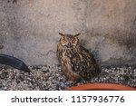 portrait for indian eagle owl ... | Shutterstock . vector #1157936776