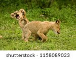 Lion Cubs Playing.