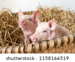 two pigs in the straw nest | Shutterstock . vector #1158166519