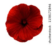 lavatera  red  flower on a...   Shutterstock . vector #1158172846