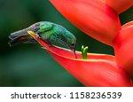 a rufous tailed hummingbird... | Shutterstock . vector #1158236539