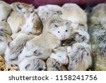 Stock photo many hamsters live together 1158241756