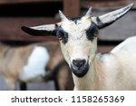 goats in the northeast of... | Shutterstock . vector #1158265369