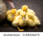 Group Of 5 Ducklings Of A...