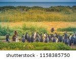 king penguins at tierra del... | Shutterstock . vector #1158385750