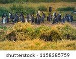 king penguins at tierra del... | Shutterstock . vector #1158385759
