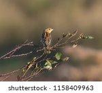 bobolink songbird  female  | Shutterstock . vector #1158409963