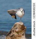 ring billed gull  larus...   Shutterstock . vector #1158430210
