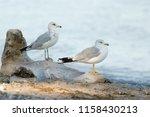 two ring billed gulls  larus...   Shutterstock . vector #1158430213