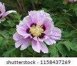 wonderful peony flower | Shutterstock . vector #1158437269