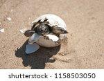 common tortoise baby is... | Shutterstock . vector #1158503050