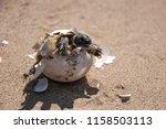 common tortoise baby is... | Shutterstock . vector #1158503113