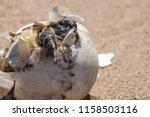common tortoise baby is... | Shutterstock . vector #1158503116