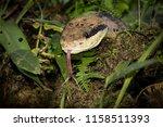portrait of a bushmaster snake. ... | Shutterstock . vector #1158511393