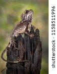 a helmeted basilisk... | Shutterstock . vector #1158511996