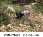 Small photo of Andean Condor (Vultur gryphus) at Mount Calamorro near Benalmadena in Spain.