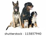 Stock photo portrait of a purebred bernese mountain dog malinois chihuahua and rottweiler in front of white 115857940