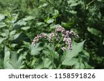 Small photo of Water pepper, knotweed or smartweed. Water-pepper weed, Persicaria hydropiper or Polygonum hydropiper, close-up. Wild flower, Polygonaceae family.