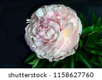 beautiful gentle white pink...   Shutterstock . vector #1158627760