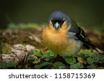 the azorean chaffinch  or... | Shutterstock . vector #1158715369