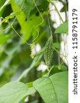 little young bitter melon or... | Shutterstock . vector #1158791179