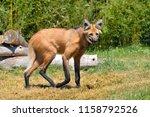 maned wolf  chrysocyon... | Shutterstock . vector #1158792526