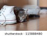 Stock photo british short hair cat hunting in the housing 115888480