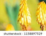 Redhot Poker Flower