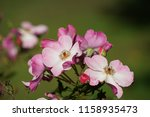 close up with flower | Shutterstock . vector #1158935473