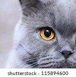 Stock photo portrait of purebred russian blue cat closeup 115894600