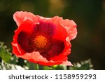 Open Red Poppy Flower With...