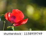 delicate red petals on a poppy...   Shutterstock . vector #1158959749