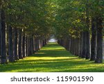 Alley Of Maple Trees And Green...