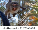 angry baboon in tree  | Shutterstock . vector #1159060663