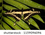 a big butterfly of the species... | Shutterstock . vector #1159096096