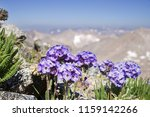 Small photo of sky pilot flowers on the side of Split Mountain in the Sierra Nevada of California